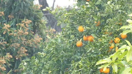 food state : Heavy rain shower in California, with orange tree as background