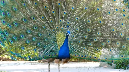 tavuskuşu : peacock showing its fan and dancing at Los Angeles Stok Video
