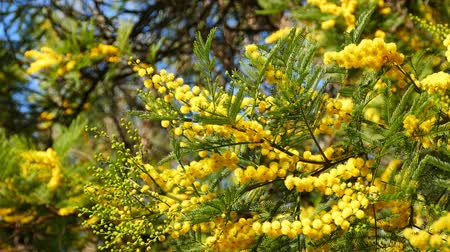 bezelye : Australia plants - Yellow early black wattle blossom