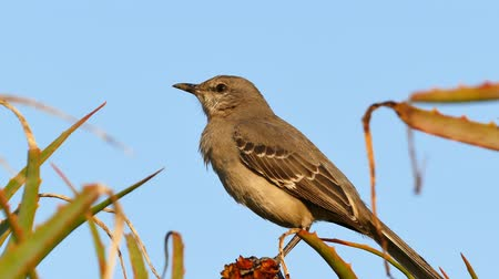 falar : Little flycatcher bird - Says Phoebe at Los Angeles Stock Footage
