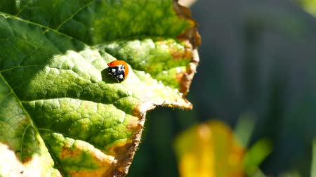 katicabogár : Ladybird beetles resting on a leaf in spring, morning night Stock mozgókép