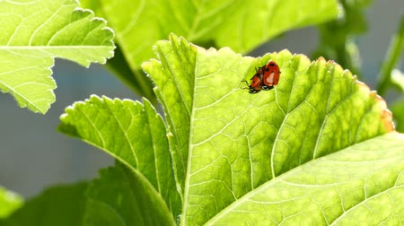 katicabogár : A pair of ladybird beetles mating on a leaf in spring, morning sunlight