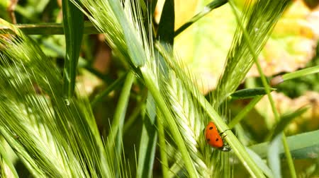 çiftleşme : Ladybird beetles resting on a leaf in spring, morning night Stok Video