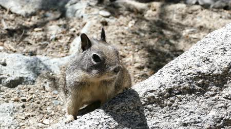 palm squirrel : Video of cute squirrel walking around at the rock Stock Footage