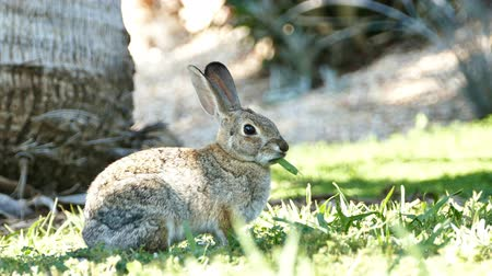 yırtıcı hayvan : 4K Video of Beautiful wild rabbit eating grass at Los Angeles