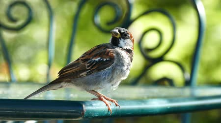 żelazko : 4K Video of cute yong sparrow sitting on an iron chair in a park