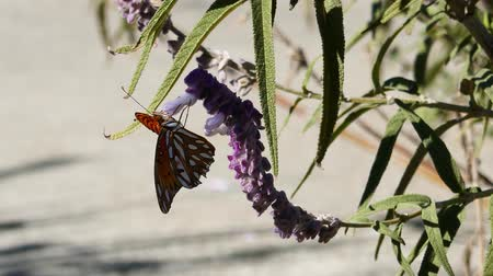 owady : Nymphalidae Butterfly and purple sage flower, photo taken at Los Angeles Wideo