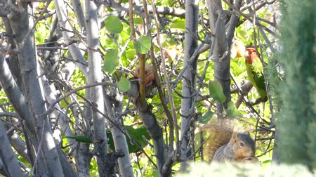 roedor : Cute squirrel eating apple on the tree at the garden