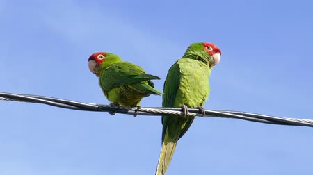 papuga : Two Parrot standing and playing at telephone pole Wideo