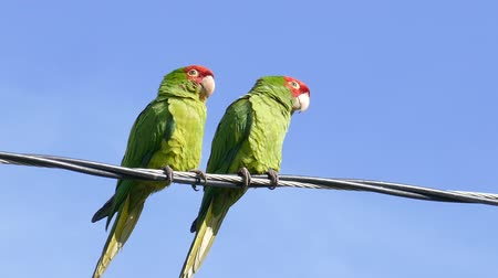 hayvan kafa : Two Parrot standing and playing at telephone pole Stok Video