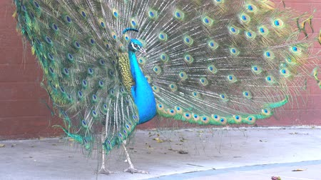 tavuskuşu : 4K video of peacock showing its fan towards female peacock and dancing at Los Angeles