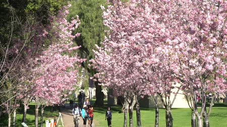 regional : 4K Video of Beautiful cherry blossom at Schabarum Regional Park, Rowland Heights, Los Angeles County, California Stock Footage