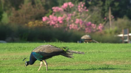 tavuskuşu : Beautiful peacock walking around with Pink tree behind at Los Angeles County Arboretum & Botanic Garden