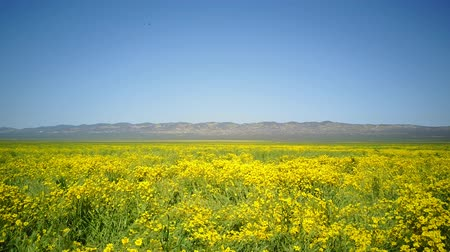 Bird eye view of the teautiful yellow goldifelds blossom at Carrizo Plain National Monument, California, U.S.A. Stock mozgókép