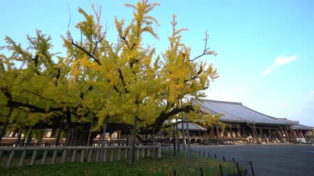 biloba : Beautiful ginkgo tree turning into yellow on Autumn, at Nishi Hongan-ji, Kyoto, Japan
