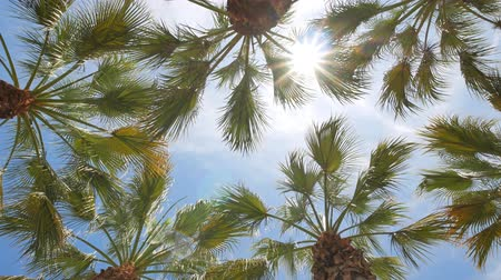 los angeles county : Looking up the palm tree with blue sky, photo took at Los Angeles Stock Footage