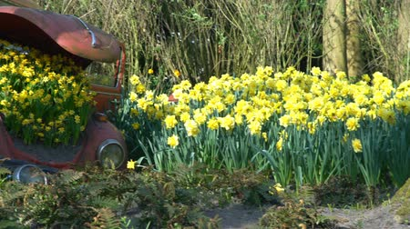 crashed : Abandoned car as decoration with beautiful yellow flower blossom in the famous Keukenhof at Lisse, Netherlands