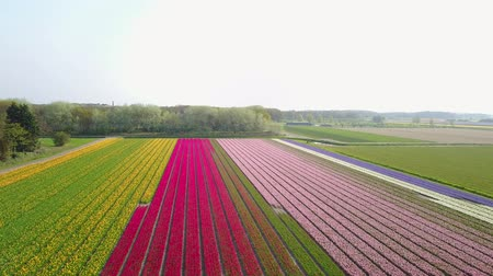 ams : Aerial view of super colorful tulips farm blossom around Leiden country side at Netherlands Stock Footage