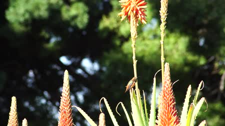 алоэ : Hummingbird and beautiful red Aloe arborescens, photo took at Los Angeles