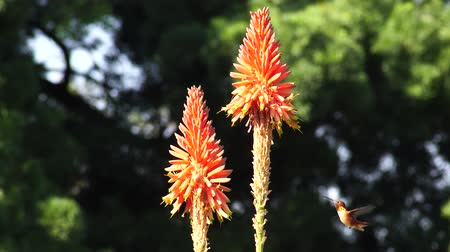 hummingbird : Hummingbird and beautiful red Aloe arborescens, photo took at Los Angeles