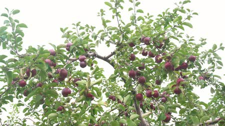 pisos exteriores : Many mature apple hanging on the tree and lying on the ground at Quebec, Canada Archivo de Video