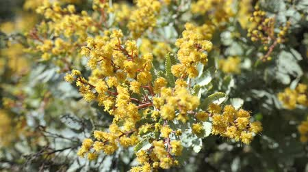 napfény : The beautiful Acacia chinchillensis (chinchilla wattle) blossom