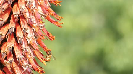 алоэ : Close up shot of an orange Aloe blossom with bee