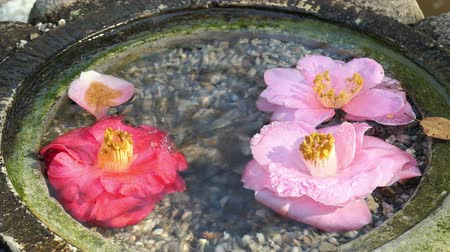 los angeles county : Water drop on the Camellia flower in the Japanese style fountain Stock Footage