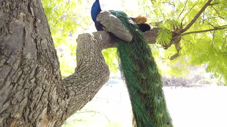 napfény : Peacock sitting on a branch