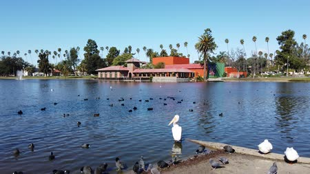 pato real : Pelícano blanco americano, focha negra, patos alrededor de Lincoln Park en Los Angeles, California Archivo de Video