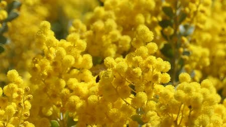 bezelye : The beautiful Acacia chinchillensis (chinchilla wattle) blossom with bee at Los Angeles, California Stok Video