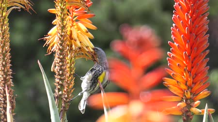 алоэ : Close up shot of an orange Aloe blossom with bird jumping around Стоковые видеозаписи