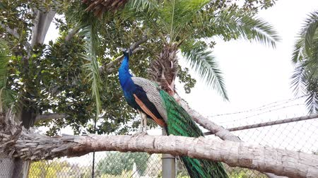 tavuskuşu : Peacock sitting on a branch at Los Angeles, California