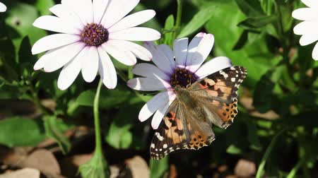 margarida : Painted lady eating in the white Osteospermum flower at Los Angeles, California Vídeos