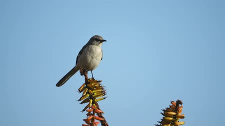 алоэ : Northern Mockingbird sitting in a bloom aloe at Los Angeles, California