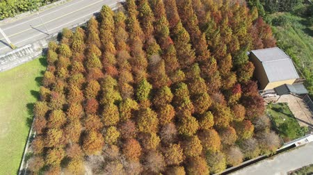 típico : Aerial view of the Taxodium distichum in fall color with red, orange leaves and reflection at Yuanli Township, Taiwan
