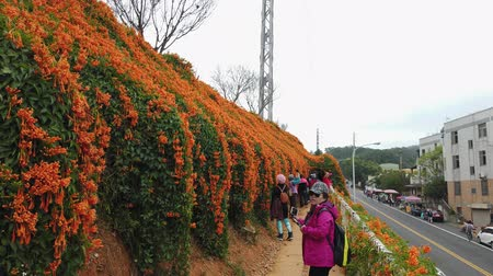 taiwan : Miaoli, JAN 7: Pyrostegia venusta blossom on JAN 7, 2019 at Tongluo Township, Miaoli, Taiwan Vídeos