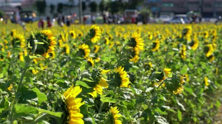 mei : Sunflower swinging under high wind at Taiwan Stock Footage