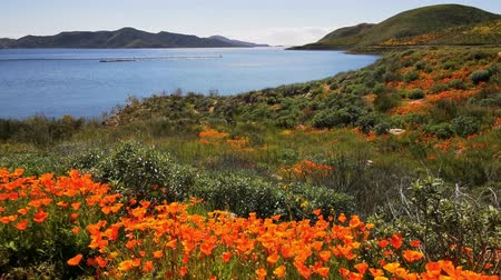 spousta : 4K Video of lots of wild flower blossom at Diamond Valley Lake, California Dostupné videozáznamy
