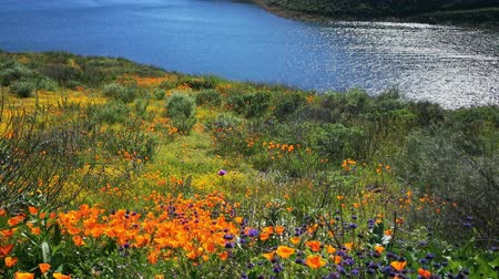 los angeles county : 4K Video of lots of wild flower blossom at Diamond Valley Lake, California Stock Footage