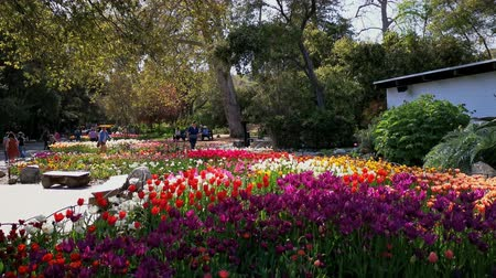 yellow flowers : Los Angeles, MAR 29:  tulips blossom  at Descanso Garden on MAR 29, 2019 at Los Angeles