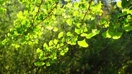 biloba : Close up shot of  Ginkgo biloba leaves under backlight at Los Angeles, California
