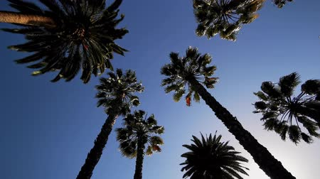 взял : Looking up the palm tree with blue sky, photo took at Los Angeles Стоковые видеозаписи