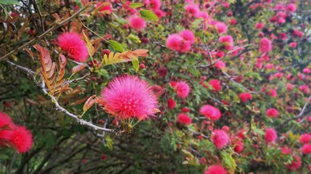 persiano : Persian silk tree blossom in Los Angeles, California
