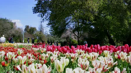 laleler : Los Angeles, MAR 29:  tulips blossom  at Descanso Garden on MAR 29, 2019 at Los Angeles