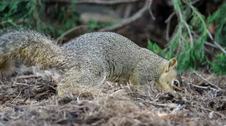 orzechy : Cute squirrel finding nuts and eat at the garden