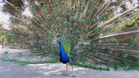 paw : Male peacock showing its color fan at Los Angeles, California Wideo