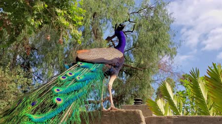 tavuskuşu : Male Peacock walking around at Los Angeles, California Stok Video