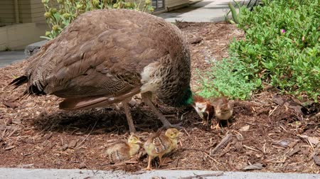 tavuskuşu : Female Peacock walking around with her babies at Los Angeles, California