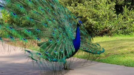tavuskuşu : Male peacock showing its color fan at Los Angeles, California Stok Video